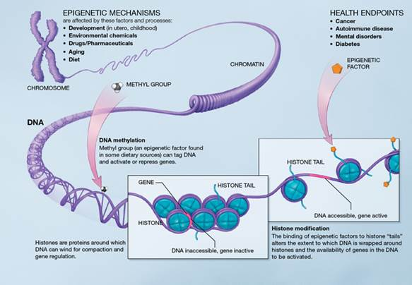 Beschreibung: A Scientific Illustration of How Epigenetic Mechanisms Can Affect Health
